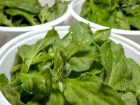 植物工廠,冰花,生蠔葉,海茴香種植